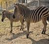 Struții și zebrele de la Grădina Zoologică vor avea un adăpost nou